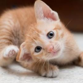 Was hilft gegen Flöhe bei Katzen